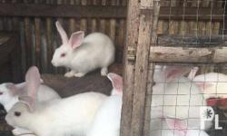 Rabbits are small, furry, mammals with long ears, short