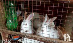 Rabbit for sale ( pang pet or ulam ) Location : Amadeo,