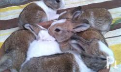 fs two months old new zealand rabbit brown white