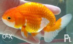 goldfish Classifieds - Buy & Sell goldfish across