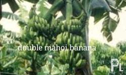 Different varieties of banana suckers available for