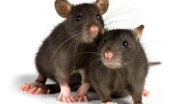 Don't let the rats come into your house!!!! call