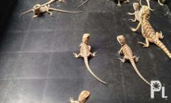 Bearded Dragon Call or text for inquiry Normal 3000