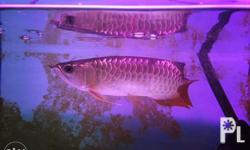 Selling this super golden red arowanas,all of this