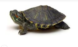 Two turtles for sale four year old rush sale lng po