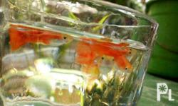 A full red guppy very hardy and resistant to disease