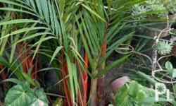 Red palm plants, 4 to 5 feet high, buyer takes care of