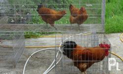 Rhode Island Chickens Trio One Rooster Two Ready To Lay