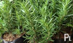 Rosemary plant for sale. Meet ups at BGC, Taguig on