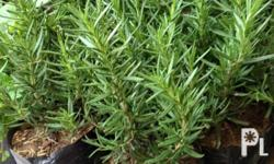 Rosemary plant for sale. Meet ups at BGC, Taguig,