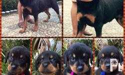 """Hi Quality ROTTWEILER Puppies �GUARD DOG"""" FOR"""