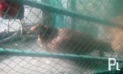 Roundhead hatch 6mos.old Cavite area...