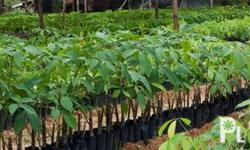 We are selling Budded Rubber seedling at 25 each we
