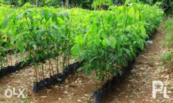we sell Unbudded rubber seedling.. we ship nationwide