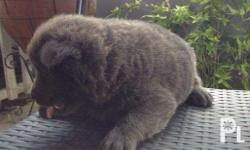 Rush sale Blue chow2x puppies 100% pure breed chow2x