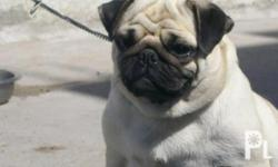 Deskripsiyon RUSH SALE! :)) FEMALE PUG going 3 years