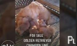 Rush Sale Pure Breed Golden Retriever MALE and FEMALE