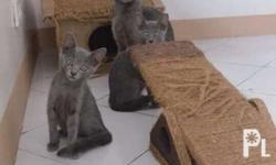 2 months 2 female 1 old male for sale Pure Russian Blue