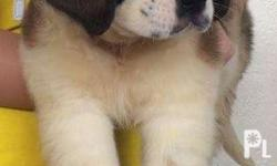 Female SAINT BERNARD puppies for sale.