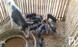 For sale native pigs/piglets. The current size is