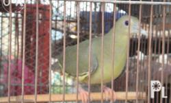 sale or swap spanish birds for only 1,950.00 diet