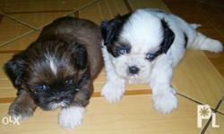 sale shih tzu puppies pure with papers NO TEXT please