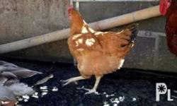 Sasso chicken ready to breed avalaible 750 each.