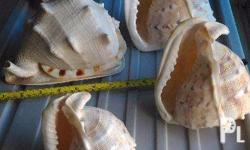 This beautiful Sea Shell. is now a collectors item