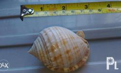 "This 3"" Philippine Phalium Shell is part of a larger"