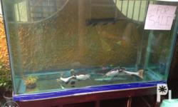 Selling this 4 fish with 100 galon aquarium set and