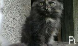 A pure breed female persian kitten almost 4months old ,