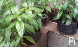 Serpentina plants for sale at affordable price. We