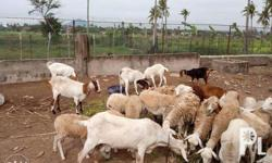 Sheep and Goats for Sale in Lemery, Calabarzon Classified