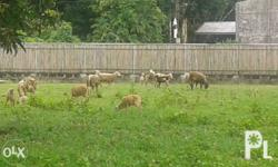 Sheep TUPA for sale 6-7mos old Pick up only at Angat,