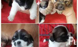 Selling my shih tzu x japanese spitz puppies. All