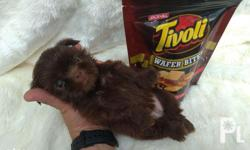 IMPORTED line / CHOCO liver line 23 puppies available -