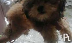 Female shihtzu 2months old Golden brown Pm.me for info