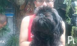Pure Male Balck Shih Tzu for sale for only 7000 1 and a