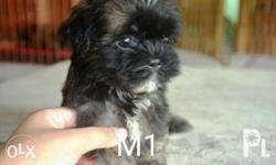 For Sale Pure Shih Tzu Liver Line Puppies DOB: