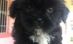 For Sale Shih tzu puppies 2months old with deworm and