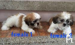 pure bred shih tzu puppies ready for release! 2 females