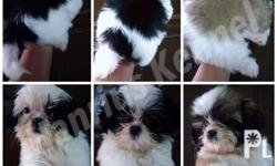 Open for Reservation Hanrius Kennel Shih Tzu Puppy