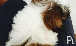 For sale Shih tzu female puppy More than 2 months old