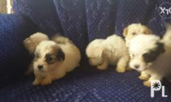 Shih tzu with a mix of terrier puppies 1 month and 1