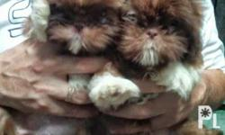 2female available w/pcci papers onhand 2months old