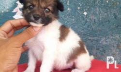 Shihtzu mix pomeranian Quality mix breed Goodhealth