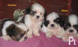 Shihtzu puppies for sale Twice de wormed with first set