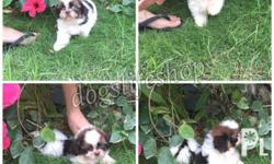 For Sale!! Ready for rehoming Shih Tzu Puppies Size: