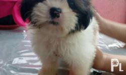 Shihztu Puppies. 1 Male left - P5000.00 Female (