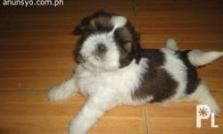 For Sale shitzu puppies... chubby, playful & sweet po
